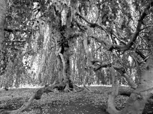 Inside the Weeping Beech Tree.